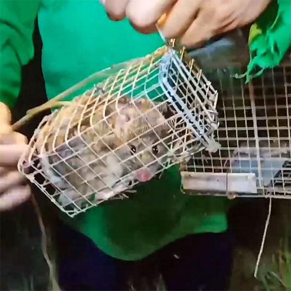 cách bẫy chuột đồng không cần mồi
