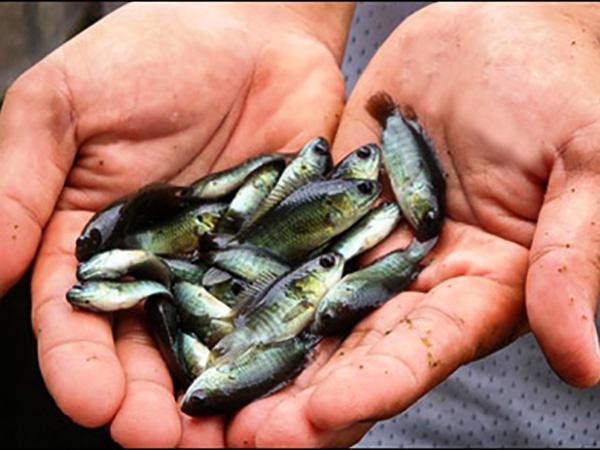 cắm câu cá lóc bằng mồi gì - cá rô con