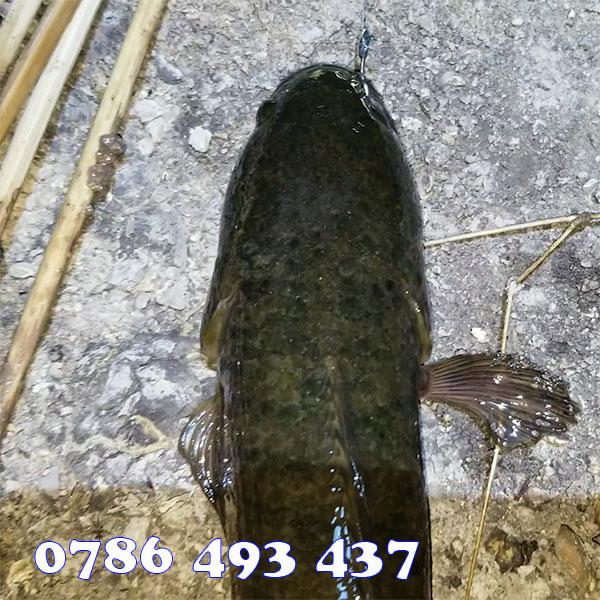 hướng dẫn cắm câu cá lóc hiệu quả
