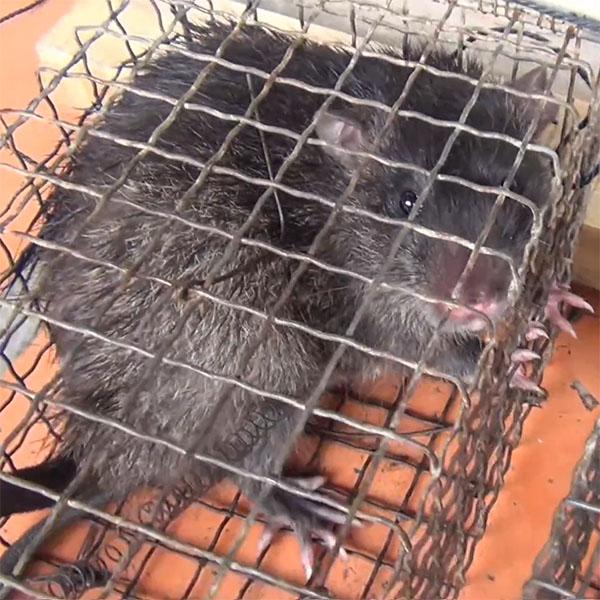 mồi bẫy chuột cống nhum hiệu quả