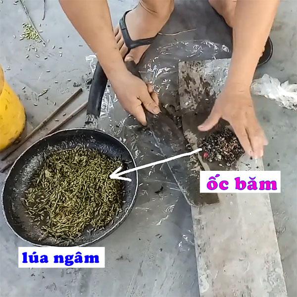 Cách Làm Mồi Bẫy Cá Rô Đồng dùng ốc bu vàng