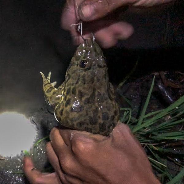 bán lưỡi câu ếch, lưỡi câu cắm ếch, ship hàng toàn quốc
