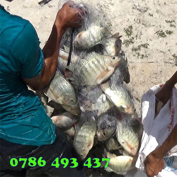 bán lưới đánh cá rô phi giao toàn quốc